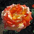 Hybrid Tea Rose by Barbara McDevitt