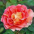 Hybrid Tea Rose  by Lisa Phillips