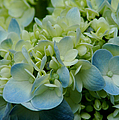 Hydrangea 2 by David Weeks