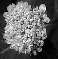 Hydrangea 3 by David Weeks