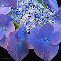 Hydrangea Blossom Macro by Brooks Garten Hauschild