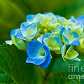 Hydrangea Bouquet by Jon Mack
