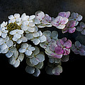 Hydrangea Dreams by Ron Jones