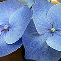 Hydrangea Flower Set by Duane McCullough