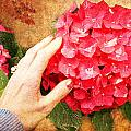 Hydrangea by Helene U Taylor