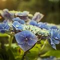 Hydrangea In Fading Light by Belinda Greb