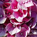 Hydrangea Lavender Petals by Jussta Jussta