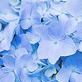 Hydrangea Macrophylla  by Sharon Mau