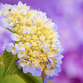 Hydrangea On Purple by Parker Cunningham