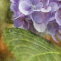 Hydrangea Portrait by Joan McCool