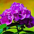 Hydrangea by Robert L Jackson