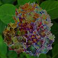 Hydrangea Solorized by Carolyn Stagger Cokley
