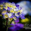 Purple Blue Hydrangea, Corona Del Mar California by Tirza Roring