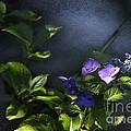 Hydrangea Violet-blue by Belinda Greb
