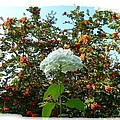 Hydrangea With Mountain Ash by Will Borden