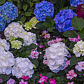 Hydrangeas by Garry Gay