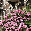 Hydrangeas In Holland by Carol Groenen