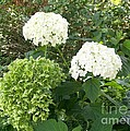Hydrangeas by Laurie Eve Loftin