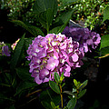 Hydrangeas V by Beth Vincent