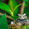 Hyla Versicolor by Rob Sellers