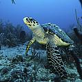 I Am A Proud Hawksbill Turtle by Sandra Edwards