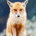 I Can't Stand the Rain  fox in a rain shower by Roeselien Raimond