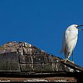 I Cry Fowl by John Daly