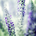 I Dream In Lavender by Amy Bish