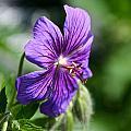 Iberian Geranium by Susan Herber