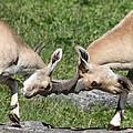 Ibex Doing Battle by John Telfer