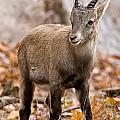Ibex Pictures 10 by World Wildlife Photography