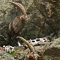 Ibex Pictures 112 by World Wildlife Photography