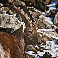 Ibex Pictures 160 by World Wildlife Photography