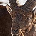 Ibex Pictures 169 by World Wildlife Photography