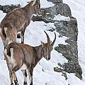 Ibex Pictures 171 by World Wildlife Photography