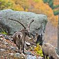 Ibex Pictures 174 by World Wildlife Photography
