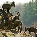 Ibex Pictures 176 by World Wildlife Photography