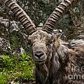 Ibex Pictures 190 by World Wildlife Photography