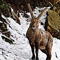 Ibex Pictures 22 by World Wildlife Photography
