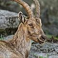Ibex Pictures 38 by World Wildlife Photography