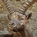 Ibex Pictures 40 by World Wildlife Photography