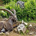 Ibex Pictures 64 by World Wildlife Photography