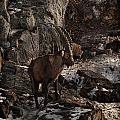 Ibex Pictures 86 by World Wildlife Photography