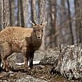 Ibex Pictures 92 by World Wildlife Photography