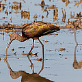 Ibis Feeding On Winter Wetlands by Kathleen Bishop