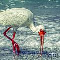 Ibis Feeding by Valerie Reeves