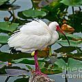 Ibis In Pond by Stephen Whalen