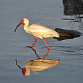 Ibis In Reflection by Bill Cannon