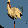 Ibis In The Morning by Bruce Lundgren