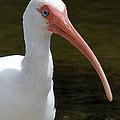 Ibis Portrait by Doris Potter